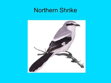 Northern Shrike. Identification ● A medium sized bird ● Black mask around eyes ● Grey colour feathers ● Tail and wings are black with white tip ● Wingspan.