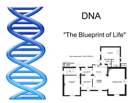 DNA The Blueprint of Life. DNA stands for... DeoxyriboNucleic Acid.