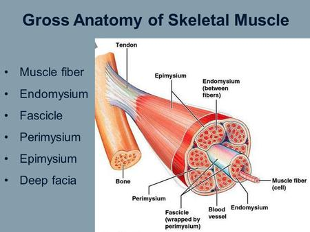 Gross Anatomy of Skeletal Muscle Muscle fiber Endomysium Fascicle Perimysium Epimysium Deep facia.