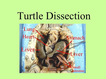 Turtle Dissection. TURTLE LATIN meaning KINGDOM _____________ PHYLUM ____________________________ SUBPHYLUM ___________________________ CLASS _______________________________.