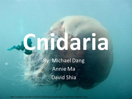 Cnidaria By: Michael Dang Annie Ma David Shia