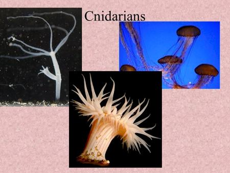 Cnidarians. Characteristics Cnidarian means Thistle Referring to the stinging cells (nematocysts) that all members possess All aquatic Radial symmetry.