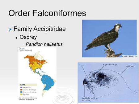Order Falconiformes  Family Accipitridae Osprey Osprey Pandion haliaetusPandion haliaetus.
