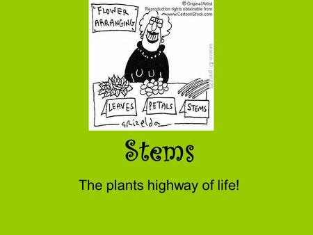 Stems The plants highway of life!. The Function of Stems Provide support to plant –Withstand the forces of gravity Transport water from roots to shoots.