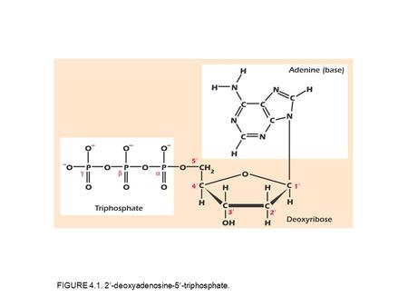 FIGURE 4.1. 2-deoxyadenosine-5-triphosphate.. FIGURE 4.2. The four bases found in DNA.