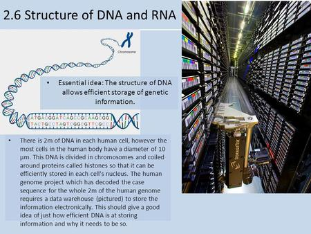 V 2.6 Structure of DNA and RNA Essential idea: The structure of DNA allows efficient storage of genetic information. There is 2m of DNA in each human cell,