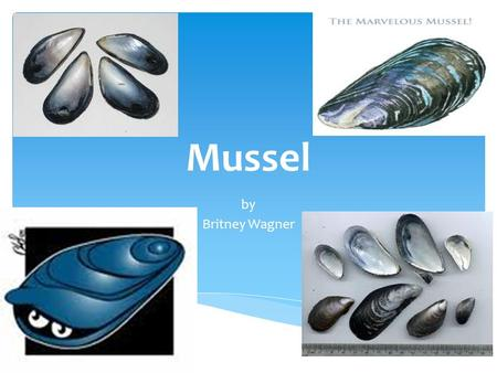 Mussel by Britney Wagner. NOT MUSCLE!  Blue mussels consist of a group of three closely related taxa, a.k.a. the Mytilus edulis complex  Mytilus edulis.