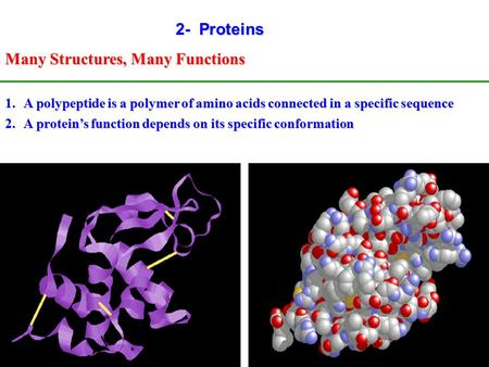 1 2- Proteins Many Structures, Many Functions 1.A polypeptide is a polymer of amino acids connected in a specific sequence 2.A protein's function depends.