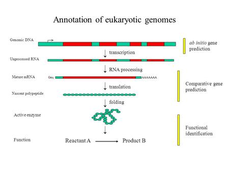 Annotation of eukaryotic genomes transcription RNA processing translation AAAAAAA Genomic DNA Unprocessed RNA Mature mRNA Nascent polypeptide folding Reactant.