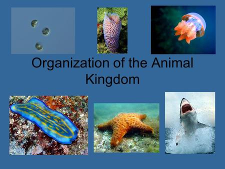Organization of the Animal Kingdom. What is an Animal? Active multicellular organism that eats primary producers or other consumers –All animals: Find.