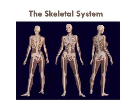 The Skeletal System. The Appendicular Skeleton  Limbs (appendages)  Pectoral girdle  Pelvic girdle.