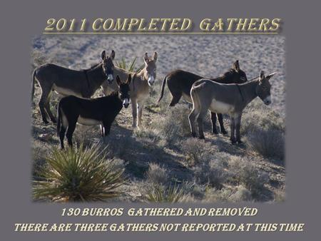 130 Burros Gathered and removed There are Three gathers not reported at this time.