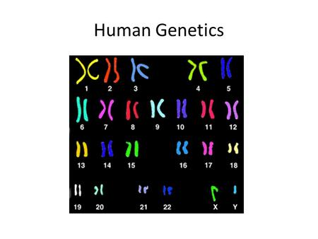 Human Genetics. Karyotype Preparation – Stopping the Cycle Cultured cells are arrested at metaphase by adding colchicine This is when cells are most condensed.