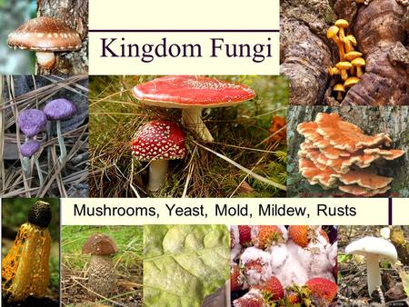 Kingdom Fungi Mushrooms, Yeast, Mold, Mildew, Rusts.