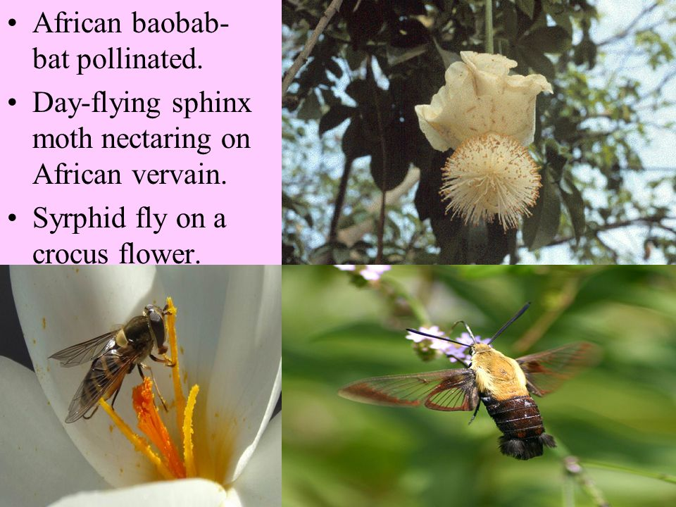 African baobab- bat pollinated.Day-flying sphinx moth nectaring on African vervain.