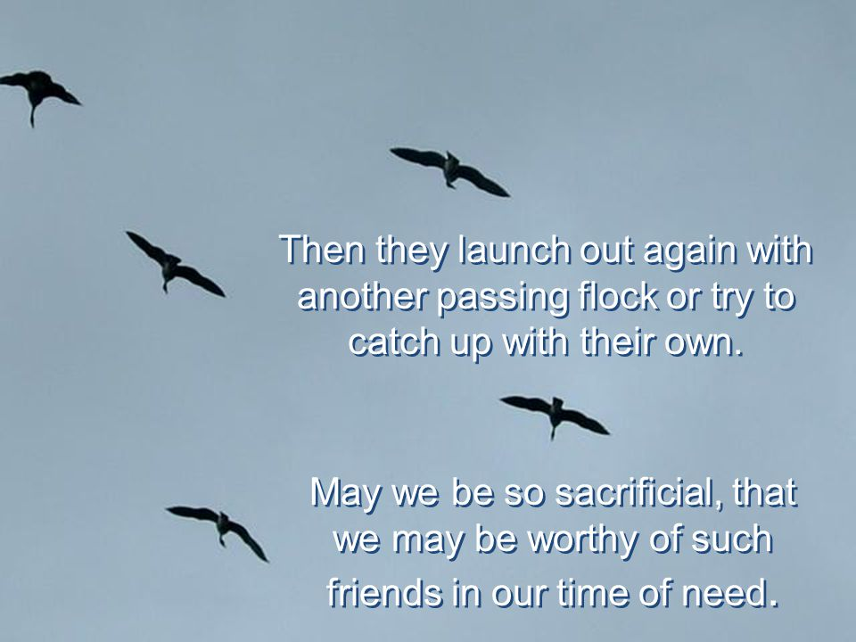 Then they launch out again with another passing flock or try to catch up with their own.