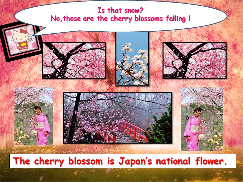 The cherry blossom is Japan's national flower.Is that snow.