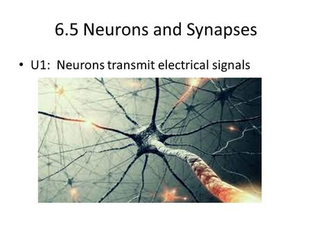 6.5 Neurons and Synapses U1: Neurons transmit electrical signals.