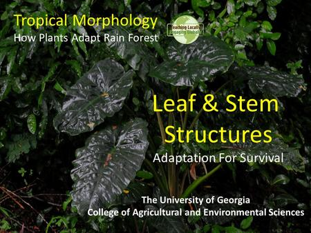 Tropical Morphology How Plants Adapt Rain Forest The University of Georgia College of Agricultural and Environmental Sciences Leaf & Stem Structures Adaptation.