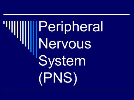 Peripheral Nervous System (PNS). PNS  Cranial nerves (12 pairs)  Spinal Nerves (31 pairs)