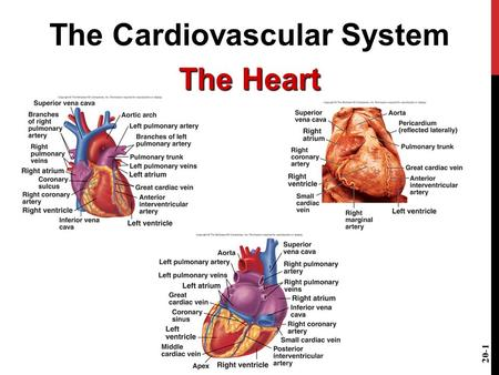 The Cardiovascular System The Heart 20-1. FUNCTIONS OF THE HEART Generating blood pressure Routing blood Heart separates pulmonary and systemic circulations.
