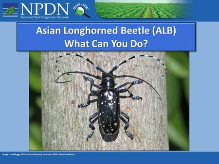 Asian Longhorned Beetle (ALB) What Can You Do? Asian Longhorned Beetle (ALB) What Can You Do? Image: Joe Boggs, Ohio State University Extension, Ohio State.