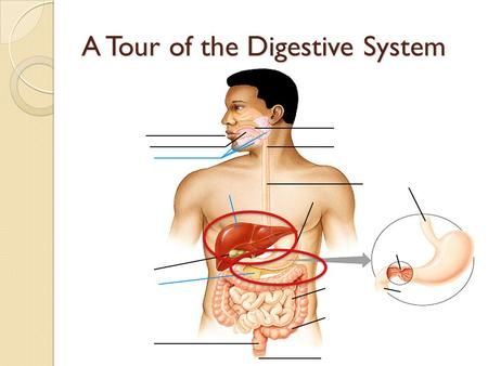 A Tour of the Digestive System