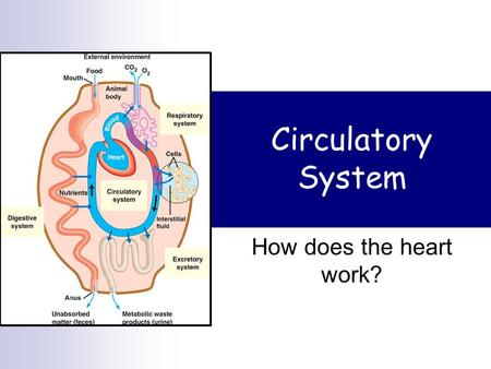 Circulatory System How does the heart work? Heart beat Motor nerve Skeletal muscle The heart is myogenic  Generates its own electricity.