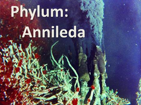 Phylum: Annileda Annileda. Annelida Origin of the word Annelida: Latin for little rings Common Examples: Earthworms, tube worms, and leeches Symmetry: