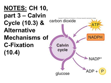 NOTES: CH 10, part 3 – Calvin Cycle (10.3) & Alternative Mechanisms of C-Fixation (10.4)