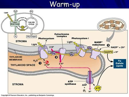Warm-up 1. Where do the light-dependent reactions take place? 2. Where do free e - s first gain E from the sun during the light-dependent reactions? 3.