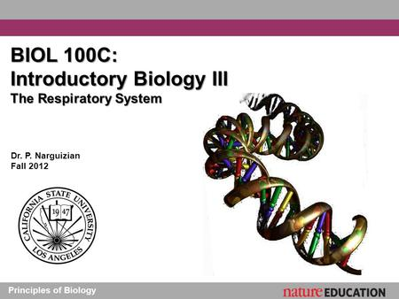 Principles of Biology BIOL 100C: Introductory Biology III The Respiratory System Dr. P. Narguizian Fall 2012.