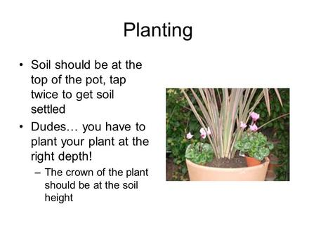 Planting Soil should be at the top of the pot, tap twice to get soil settled Dudes… you have to plant your plant at the right depth! –The crown of the.