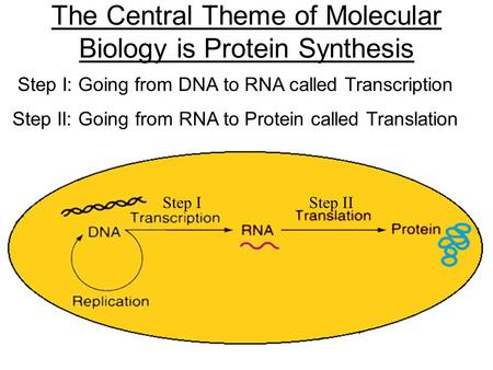 The Central Theme of Molecular Biology is Protein Synthesis Step I: Going from DNA to RNA called Transcription Step II: Going from RNA to Protein called.