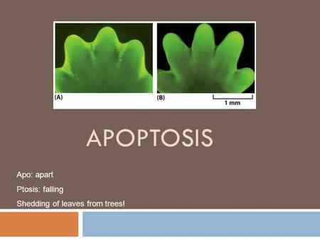 APOPTOSIS Apo: apart Ptosis: falling Shedding of leaves from trees!