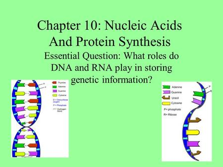Chapter 10: Nucleic Acids And Protein Synthesis Essential Question: What roles do DNA and RNA play in storing genetic information?