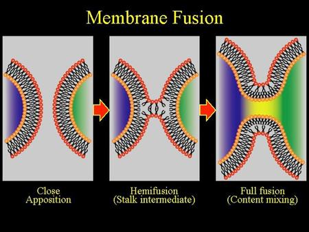 Membrane Fusion. Introduction Ubiquitous cell biological process Part of many house keeping functions – Endocytosis – Constitutive secretion – Recycling.