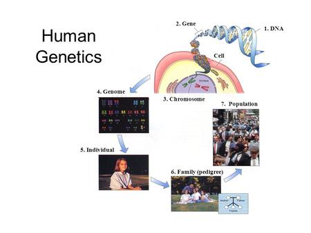 1. DNA 2. Gene 4. Genome 5. Individual 3. Chromosome 7. Population 6. Family (pedigree) Cell Human Genetics.