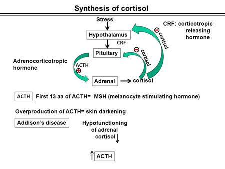 Synthesis of cortisol Stress Hypothalamus Pituitary Adrenal cortisol - ACTH + Adrenocorticotropic hormone - CRF CRF: corticotropic releasing hormone ACTH.