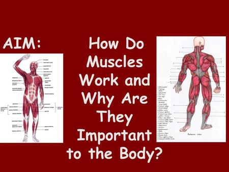 AIM: How Do Muscles Work and Why Are They Important to the Body?