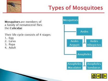 Types of Mosquitoes Mosquitoes Aedes Aedes Aegypti Aedes Albopictus Anopheles Anopheles Maculatus Anopheles Sundaicus Mosquitoes are members of a family.