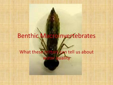 Benthic Macroinvertebrates What these critters can tell us about water quality.