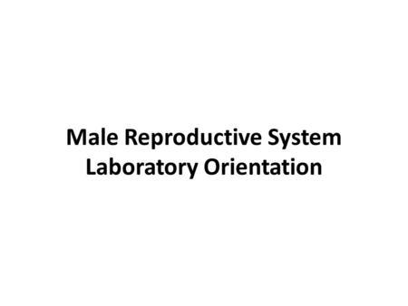 Male Reproductive System Laboratory Orientation