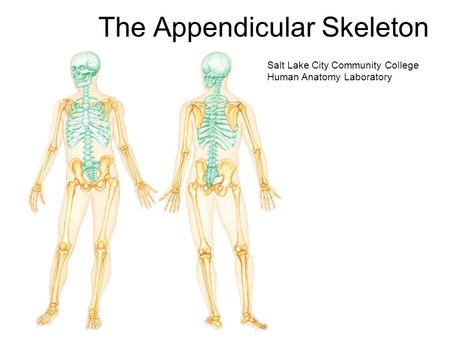 The Appendicular Skeleton Salt Lake City Community College Human Anatomy Laboratory.