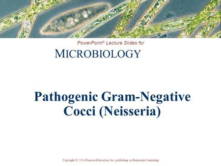 Copyright © 2004 Pearson Education, Inc. publishing as Benjamin Cummings PowerPoint ® Lecture Slides for M ICROBIOLOGY Pathogenic Gram-Negative Cocci (Neisseria)