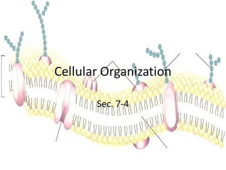 Cellular Organization Sec. 7-4. From Simple to More Complex Many multicellular organisms have structures called organs that have a specific function and.