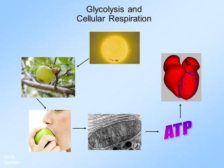 Glycolysis and Cellular Respiration Go to Section: