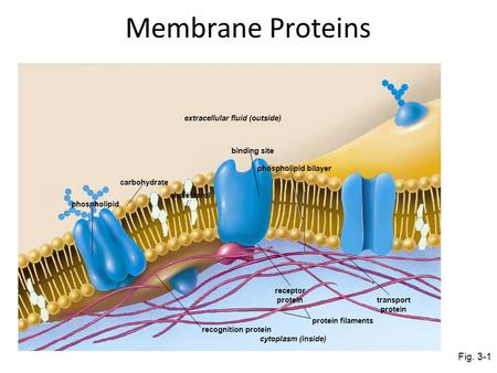 Extracellular fluid (outside) carbohydrate phospholipid cholesterol binding site phospholipid bilayer recognition protein receptor protein transport protein.