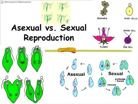 Asexual vs. Sexual Reproduction. Asexual reproduction 1 parent. The primary form of reproduction for single- celled organisms such as archaea, bacteria,