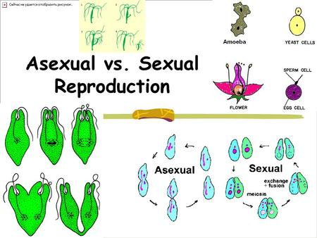 Asexual vs. Sexual Reproduction. Binary Fission Asexual Cell splits and replicated DNA goes with each part Prokaryotes, Bacteria + Fast and easy - Everybody.